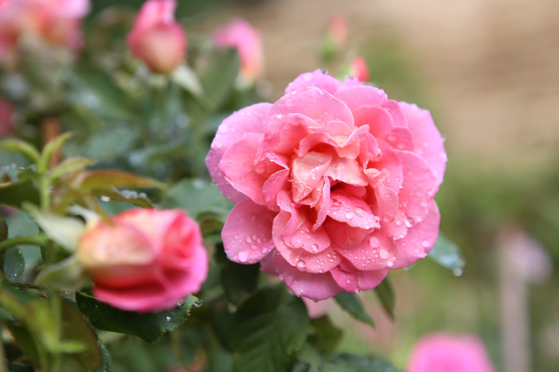 rose_copyright_S_Simonnet (3)